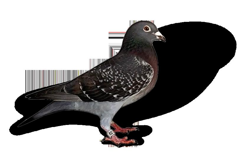 Gurnayville Lofts – Pigeon Stud Australia